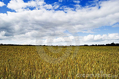 Shropshire Wheat Fields