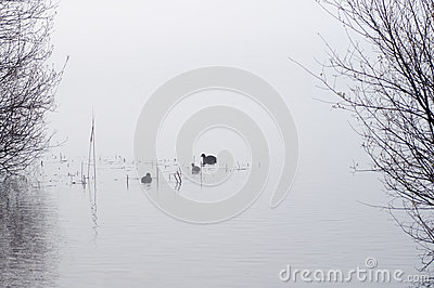 Shrubs and ducks reflected in the water of the lake with fog