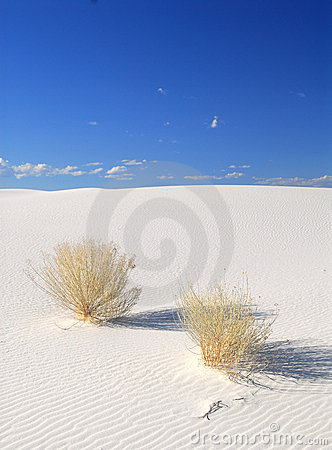 Shrubs growing in the White Sand Dunes