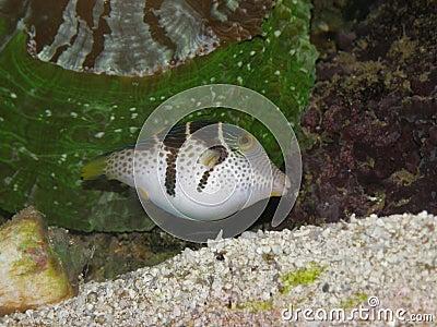 Shy Black-Saddled Toby Puffer Fish