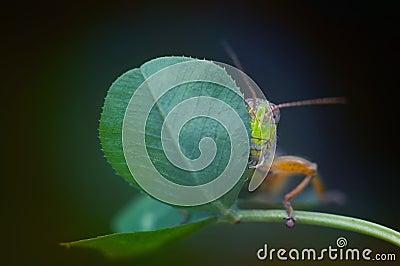 Shy grasshopper