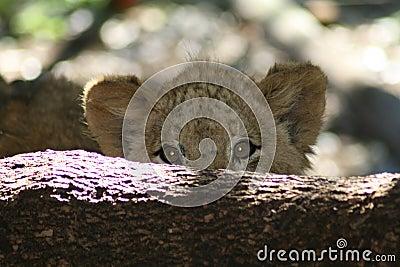Shy lion cub