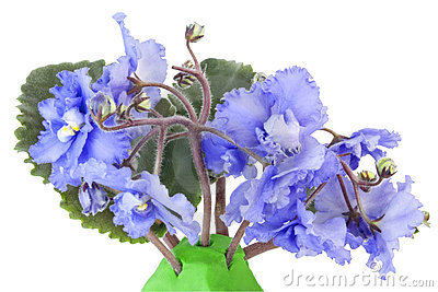 μπλε ευγενείς βιολέτε&si