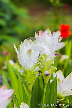 Siam tulip flowers