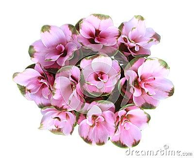 Siam tulip isolated.