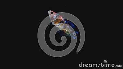 Siamaise multicolore combattante betta fish action du dos nage sur fond noir ou sombre banque de vidéos