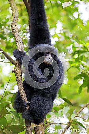 Free Siamang Gibbon Stock Photos - 36971643