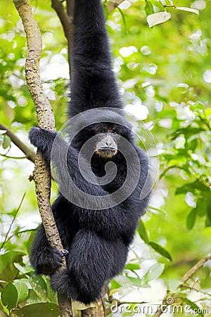 Free Siamang Gibbon Royalty Free Stock Photo - 40514195