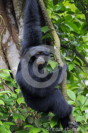 Free Siamang Gibbon Stock Photography - 53128242