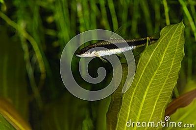 Siamese algae-eater