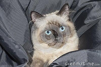 Siamese Cat Free Public Domain Cc0 Image