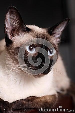 Free Siamese Cat Stock Photography - 9703032