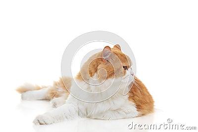 Siamese cat on alert