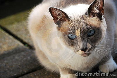 Siamese cat on the balcony