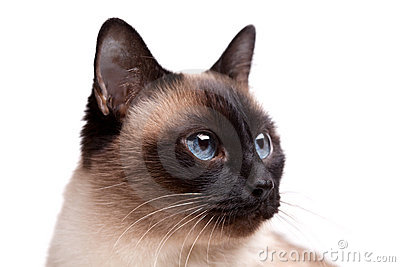 Siamese cat with blue eyes looks right