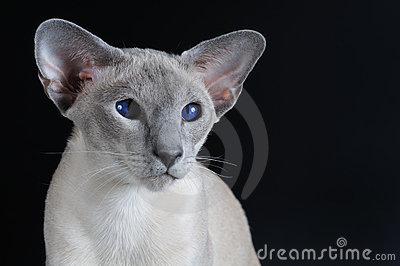 Siamese cat with dark blue eyes
