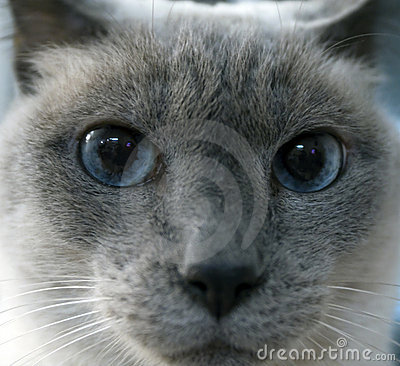 Siamese Cat Face