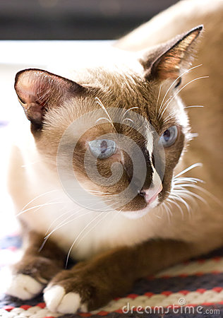 Siamese Cat.