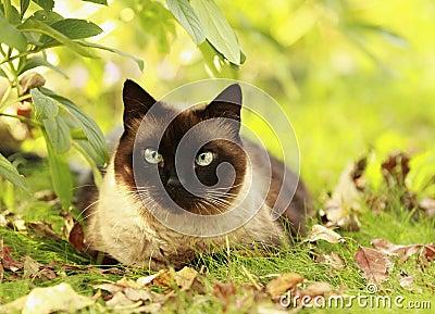 Siamese cat in a green grass
