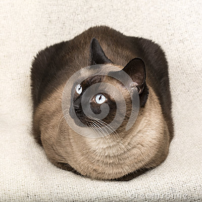 Siamese cat isolatet on a blanket