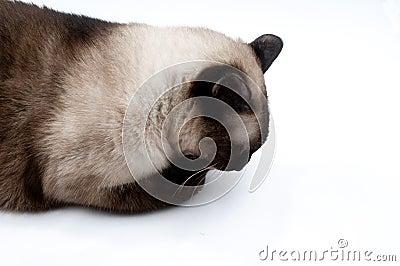 Siamese cat licking