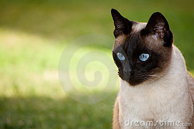 Siamese cat looking