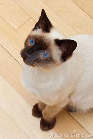 Siamese Cat Looking Up Blue Eyes