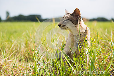 Siamese cat outdoor