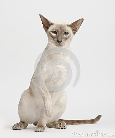 Siamese cat, portrait