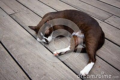 Siamese cat sleep on the wood plane floor