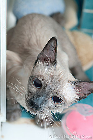 Siamese Cat taking a Bath