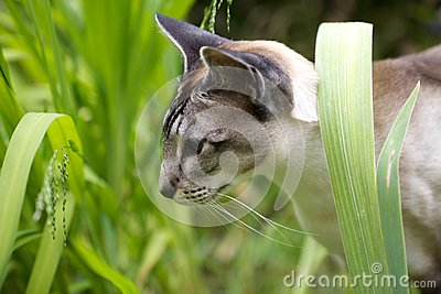 Siamese cat walking through garden