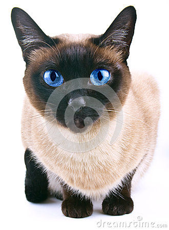 Siamese cat  on the white