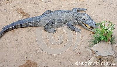 Siamese crocodile on land. Crocodile Farm. Editorial Image