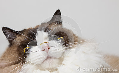 Siamese with Glasses