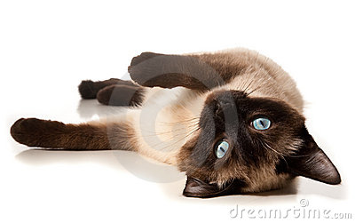Siamese kat