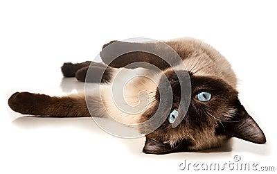 Siamese katt