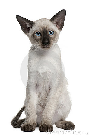 Siamese kitten, 10 weeks old, sitting