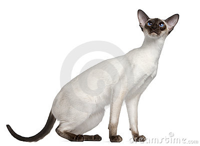 Siamese kitten, 7 months old