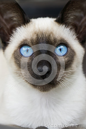 Free Siamese Kitten Blue Eyes Royalty Free Stock Photo - 46904395