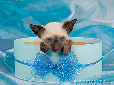 Siamese kitten in blue gift box