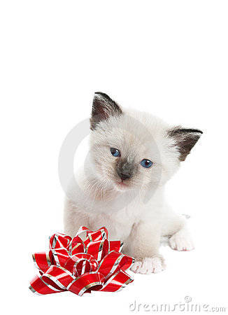 Siamese Kitten With Bow