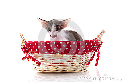 Siamese kitten in picnic basket