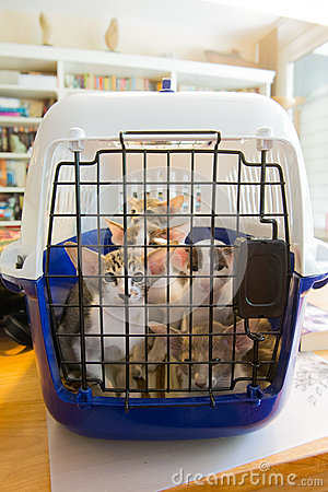 Siamese kitten ready for transport