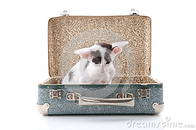 Siamese kitten in vintage suitcase