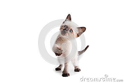 Siamese kitten on white Stock Photo