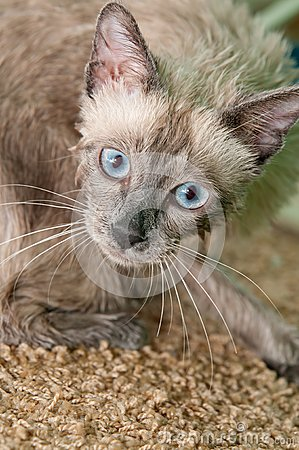 Siamese Kitty after a Bath