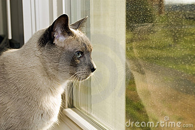 Siamese Looking Out