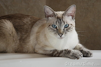 SIAMESE LYNX POINT CAT ON