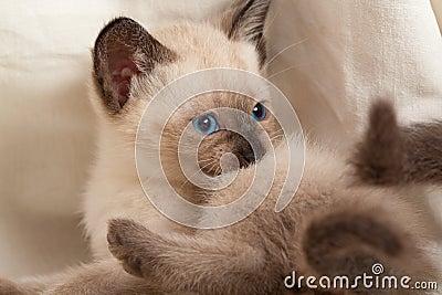 Siamese pussycat